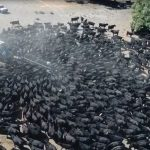 澳洲陷極端旱災 上千頭牛搶水喝