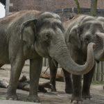 大象罹癌致死率低 疑托「殭屍基因」之福