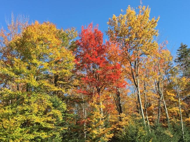 揚基雜誌預測,今秋賞紅葉季節將比往年晚,但預計顏色鮮亮多彩。(記者劉晨懿之/攝影)