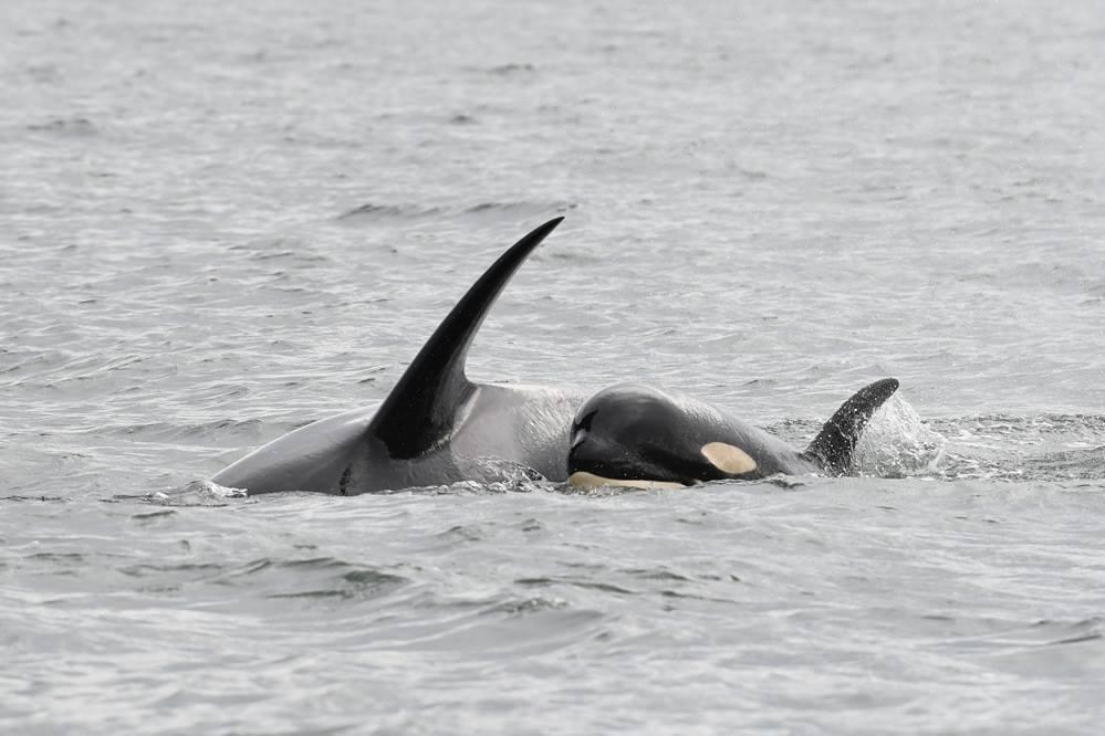 加拿大卑詩省外海幼鯨夭折故事引發民眾對瀕危虎鯨的關注。取自Center for Whale Research臉書