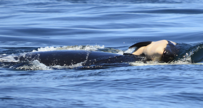 母鯨頂著已經腹部朝天的幼鯨屍體(右),在普吉灣游了17天。(美聯社)