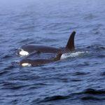 新聞眼/母鯨J35放不下的愛 一條初生鯨魚之死