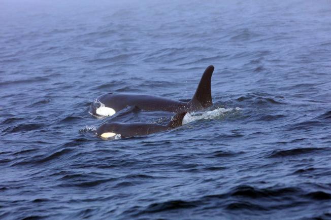 J50和母鯨今年8月在普吉灣併排游行。(美聯社)