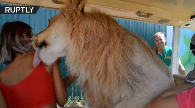 克里米亞的泰崗野生動物園一頭名叫菲拉的獅子,像頭大貓一樣對遊客又親又抱,甚至還伸出舌頭舔了舔女乘客。(視頻截圖)