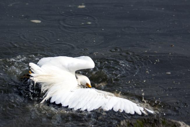 白鷺撲翅卻被拖進水中。(照片皆為作者提供)
