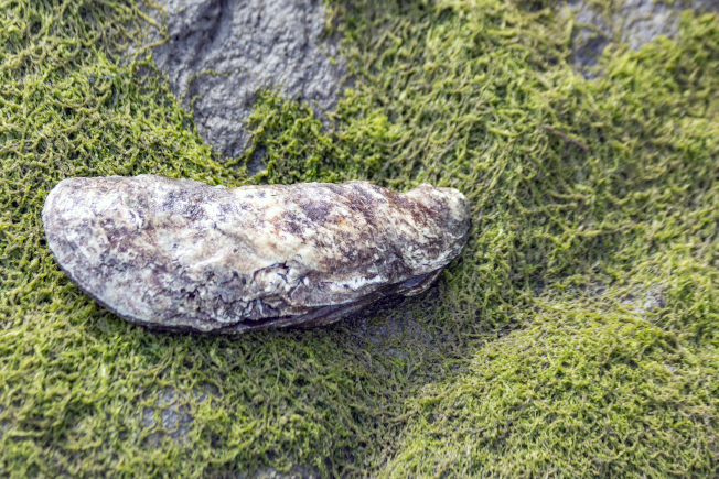 「石頭」洗乾淨後,才發現是個巨大的蚌。(照片皆為作者提供)
