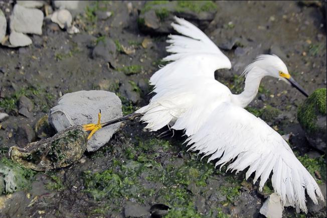 抱起白鷺,才發現它的腳被「石頭」絆住。(照片皆為作者提供)