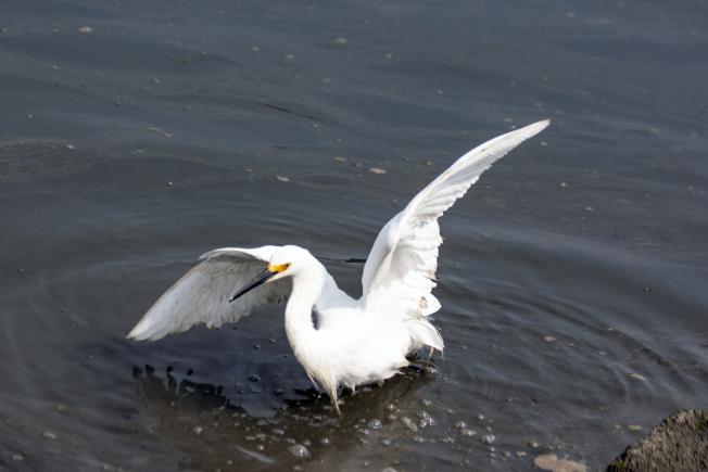 白鷺展翅卻飛不起來。(照片皆為作者提供)