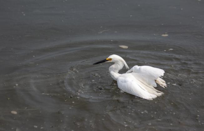 白鷺不斷在淺水掙扎。(照片皆為作者提供)