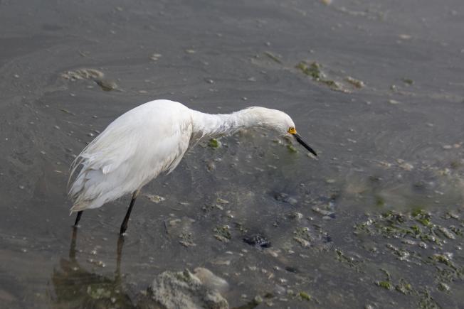 白鷺站在淺水中。(照片皆為作者提供)