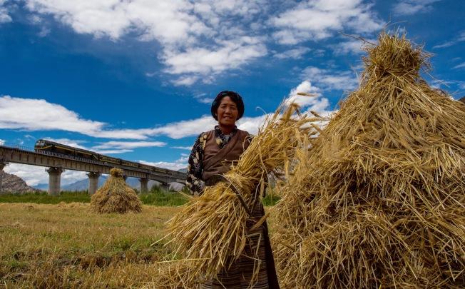 氣候變暖對青藏高原的主要糧食青稞不利。圖為拉薩村民在拉日鐵路沿線收割青稞。(新華社資料照片)