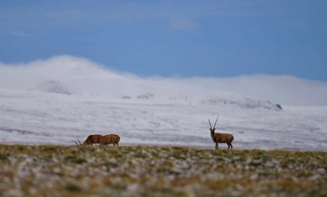 圖為色林錯湖畔的藏羚羊。(新華社資料照片)