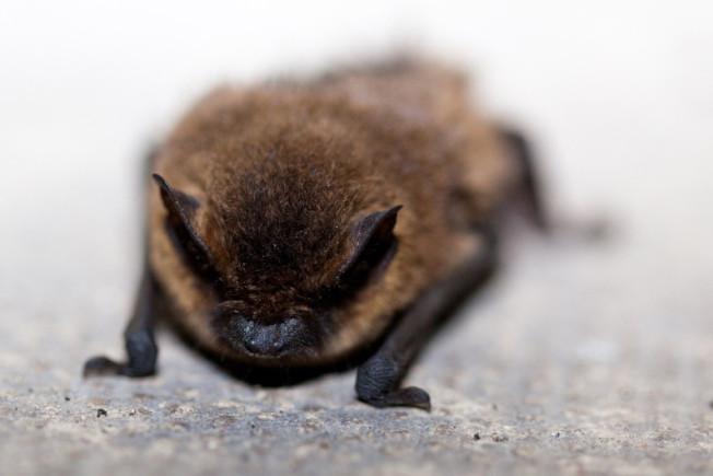 蝙蝠不好玩,被咬有危險。(網路照片)
