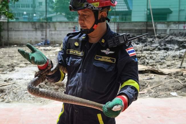 一隻在曼谷民宅被圍捕就擒的南蛇(Oriental rat snake )盤據在泰國消防員兼捕蛇專家Suraphong Suepchai手上,照片攝於6月15日。曼谷就建在沼澤地上、公園、運河和學校等公共場所都不難見到蛇出沒。Getty Images