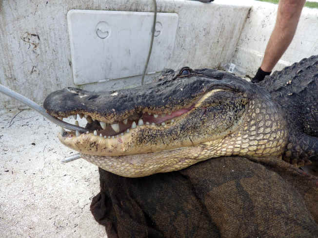 凶悍的鱷魚頭,鋒利的牙齒,巨大的咬合力瞬間就使獵物粉身碎骨。