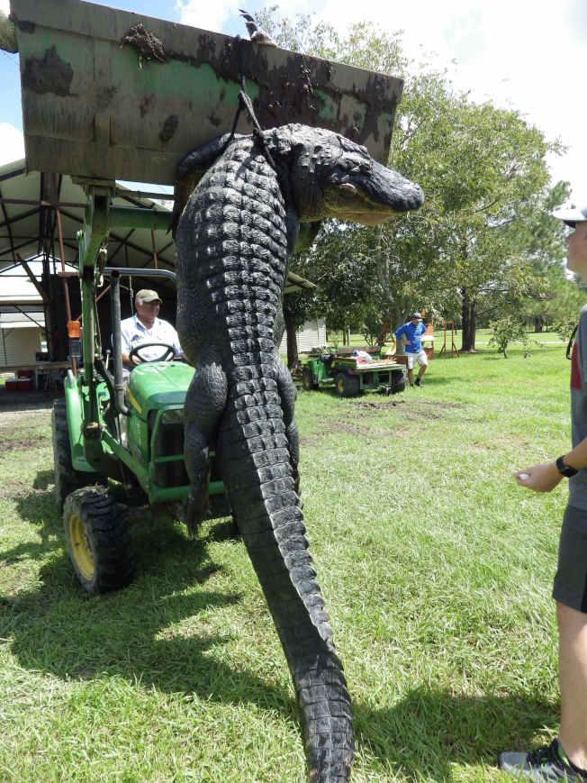 身長近四米的巨鱷被吊車吊起,令人毛骨悚然。