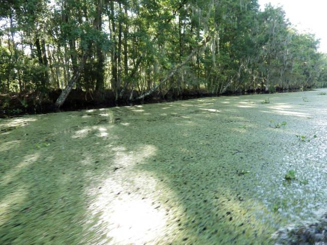 路易斯安納州縱橫交錯,靜謐翠綠但兇鱷滿布的沼澤。(圖片皆為作者提供)