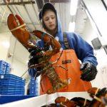 美中貿易戰火延燒 美國龍蝦出口大減 中國買主轉往加拿大