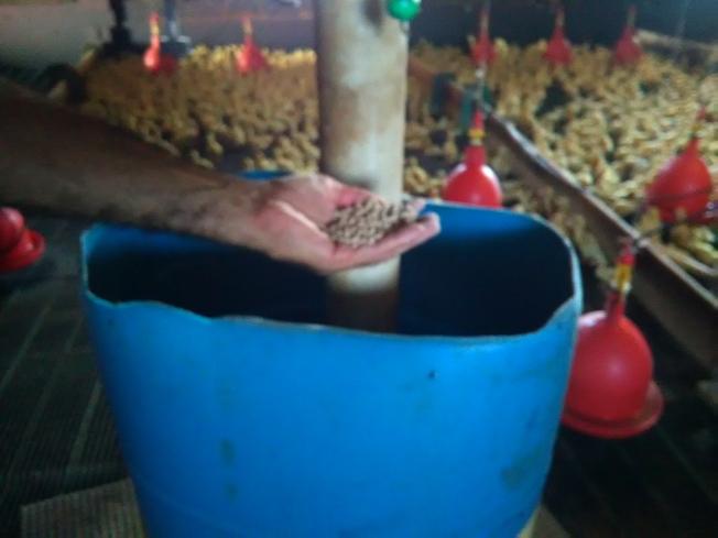 美國北京鴨的餵養方式與中國不同。(韓傑/攝影)