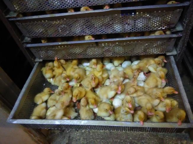 孵化器剛剛孵出來的小鴨。(韓傑/攝影)
