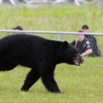 禁獵黑熊惹怒獵人 戶外組織將聯合控告墨菲