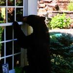 人和狗吠都不怕 康州黑熊問題拉警報