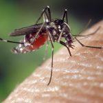 德州蚊 長如25分錢銅板
