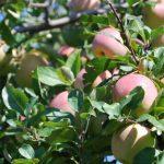 蘋果季來了!奔向蘋果之鄉 紐約客秋遊趣