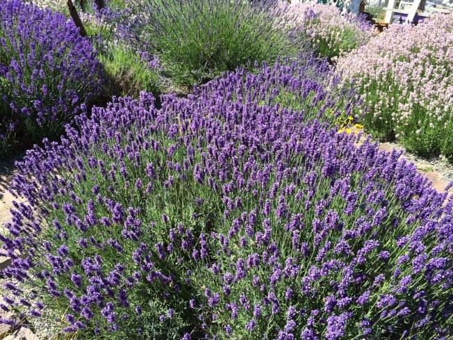 除紫色外,薰衣草其實還有很多顏色。