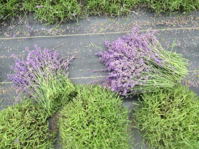 採收好的薰衣草準備萃取。