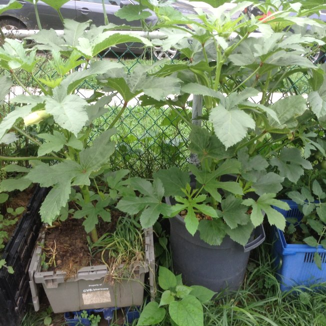 秋葵可以種在花盆裡。