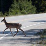 野鹿發情季來了 新州駕駛當心