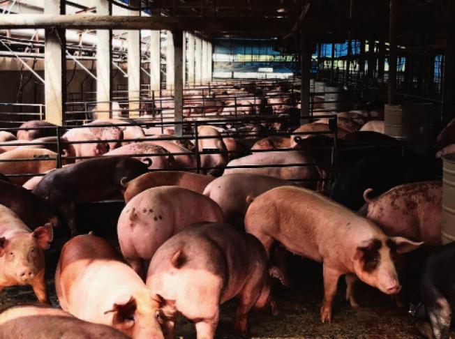 中美貿易戰,中國奇招制美,4億頭豬被強迫「節食」。(UDN資料照片)