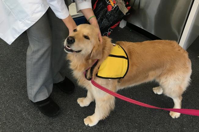 黃金獵犬是最受歡迎的治療犬品種。(美聯社)