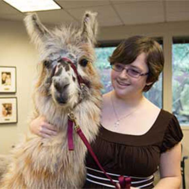 寵物治療不限狗,羊駝也是其中一種。(Pet Partners)