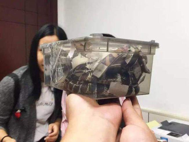 杭州25歲小伙疑因投資失敗網購劇毒銀環蛇自殺。圖為被裝在塑料盒內的銀環蛇。(取材自澎湃新聞)