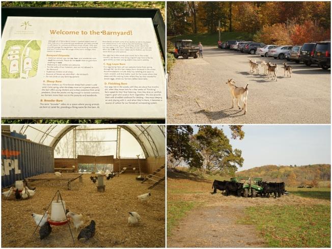 Stone Barns Center採用環保人道的方式畜養多種動物。
