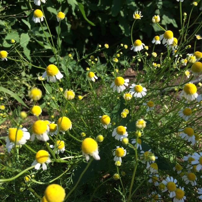 洋甘菊花朵。