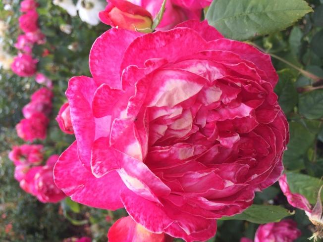 英國皇家植物園(Kew Gardens)的玫瑰花。