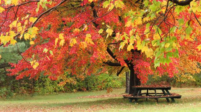 草地上,池塘旁,有一株楓樹獨領風騷,綻放著熱情的火焰。