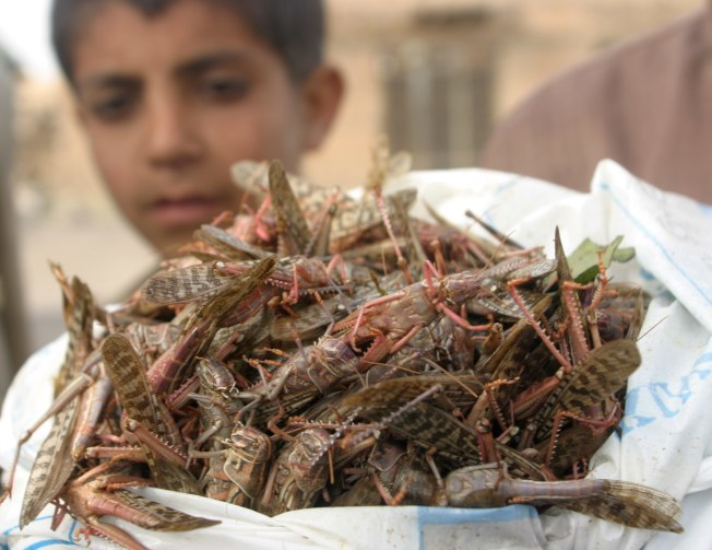 攝取昆蟲蛋白有助降低碳排放。圖為葉門一名男孩抓了許多蝗蟲,當地人會抓蝗蟲吃或者轉賣掉。(路透)