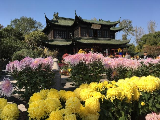 瘦西湖熙春台前到處都是盛開怒放的菊花,鮮豔奪目。(圖皆為作者提供)