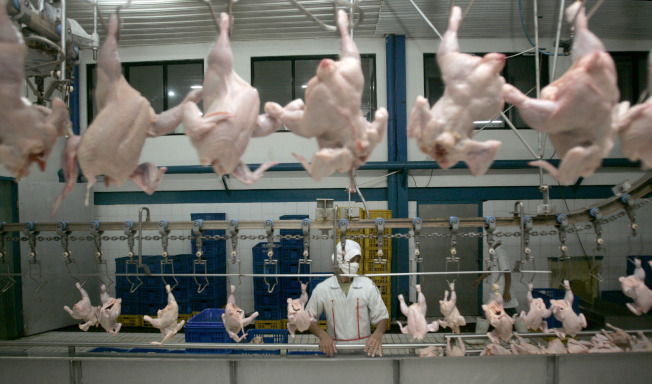 雞隻處理廠的雞肉清潔與包裝生產線。(美聯社)