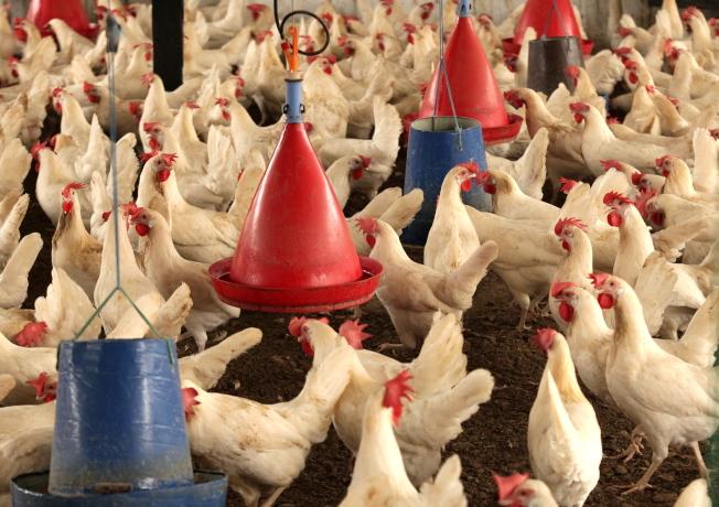 養雞場一隅。(歐新社)