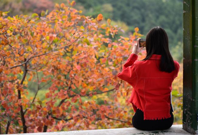 北京香山红叶遍野,吸引游客观赏。(中新社)