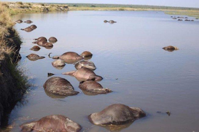 傳波札那北部逾400頭野牛為逃避群獅追趕,溺斃河中。 擷自MmegiOnline