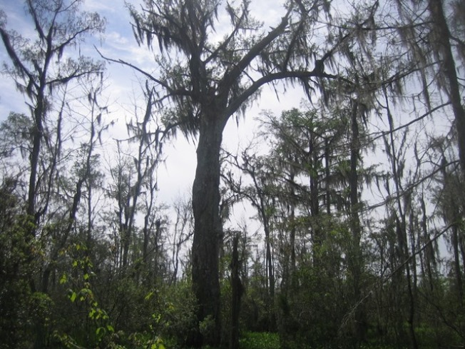 濕地的樹上掛滿可怕的魔絲。