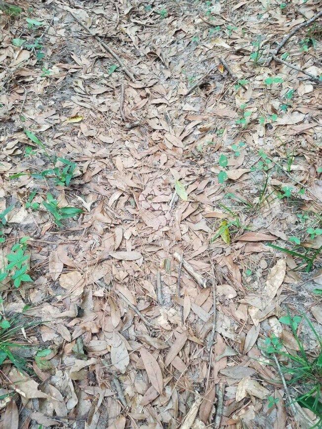 樹葉枯枝裡躲著一條蛇,肉眼難以辨識。(Helen Bond Plylar 推特)