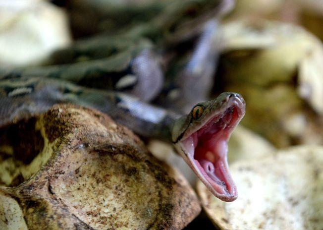 氣候溫暖的美國南部,一年四季都碰得到蛇。(Getty Images)