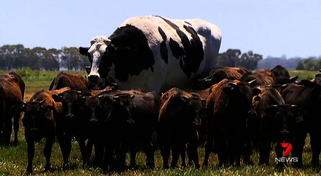 澳洲西部牧場上,有一頭高194公分、重1400公斤的肉牛「內褲」,因為體型過於龐大而逃過被屠宰的命運,得以安享天年。Twitter/@7NewsCQ
